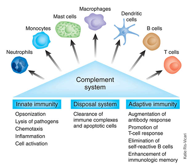 Human complement system